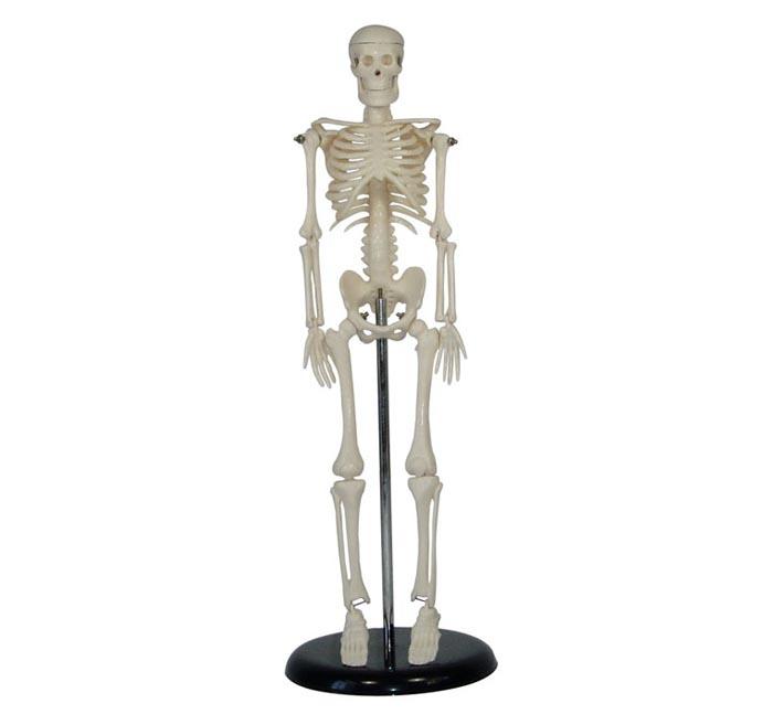 人体骨骼模型42CM