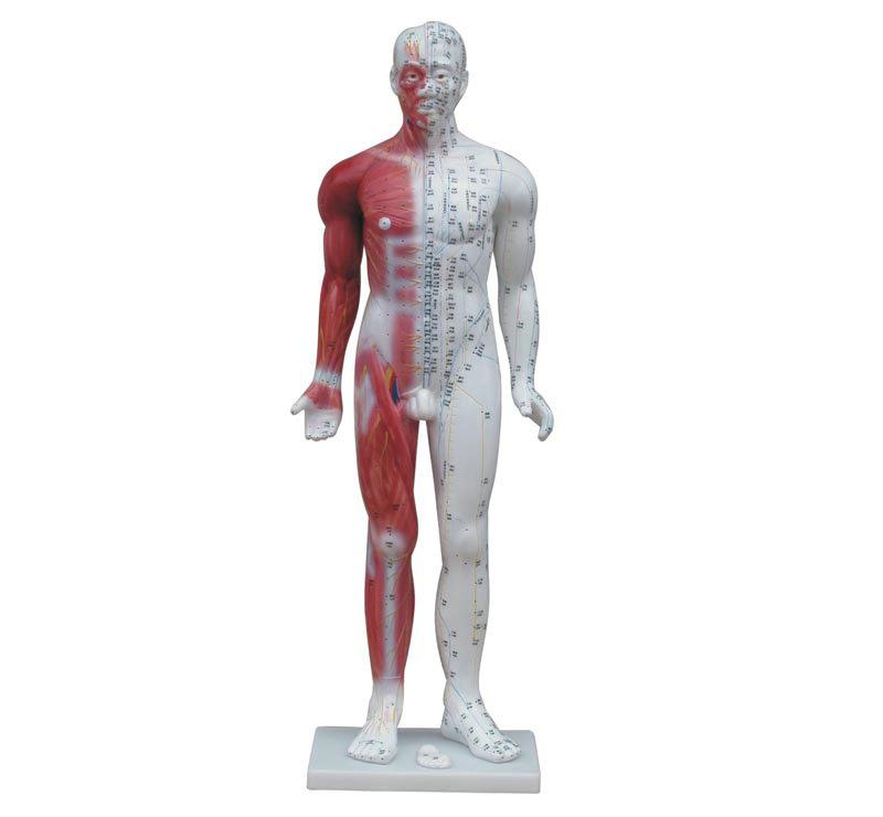 人体针灸模型84CM