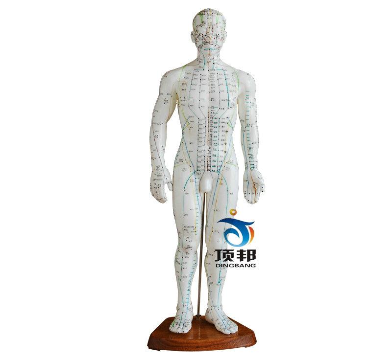 人体针灸模型50CM