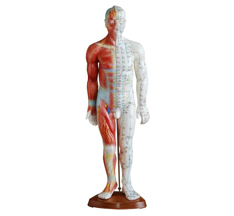 男性针灸模型(带肌肉解剖)55CM