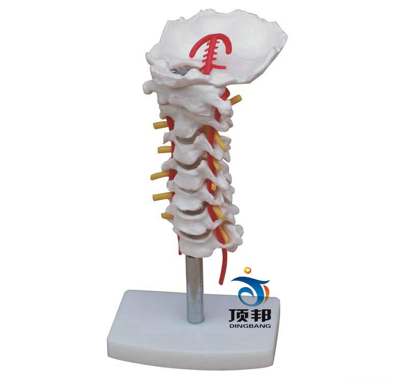 颈椎带颈动脉、后枕骨、椎间盘与神经模型