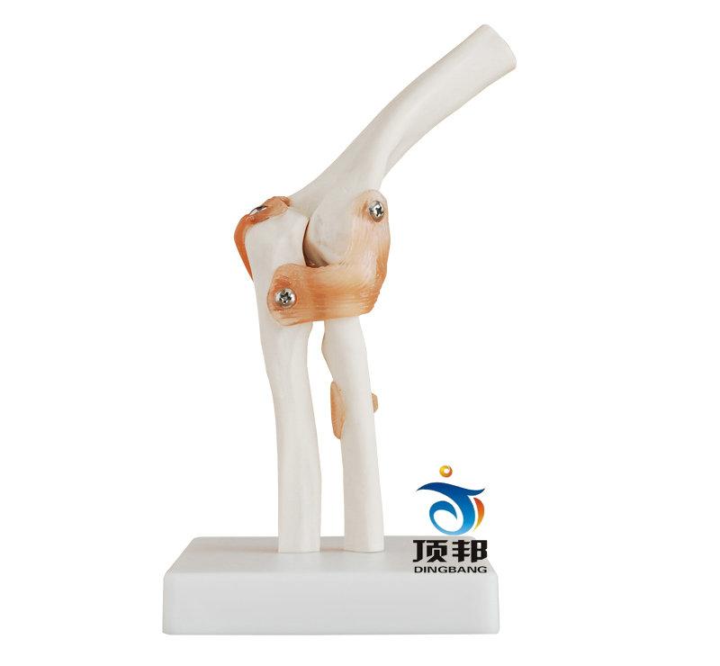 自然大肘关节模型