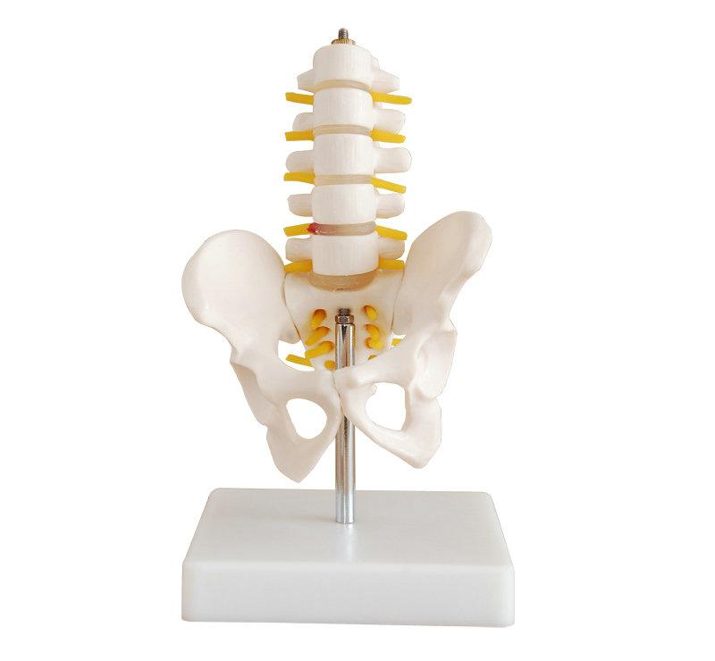 小型骨盆带五节腰椎模型