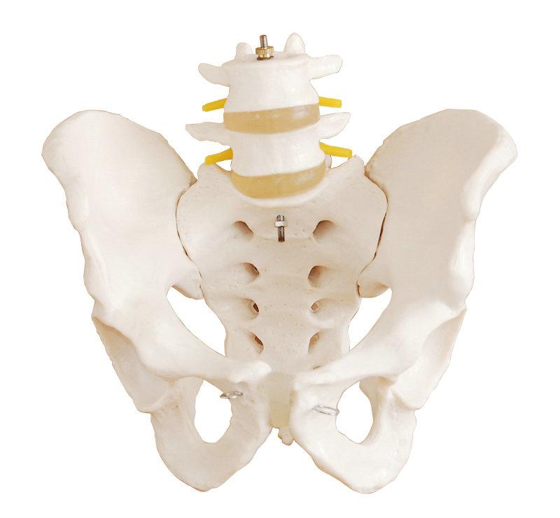 自然大骨盆带二节腰椎模型