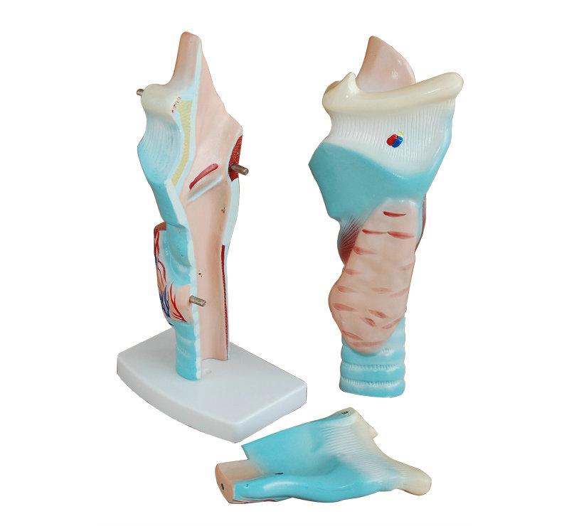 喉头解剖模型