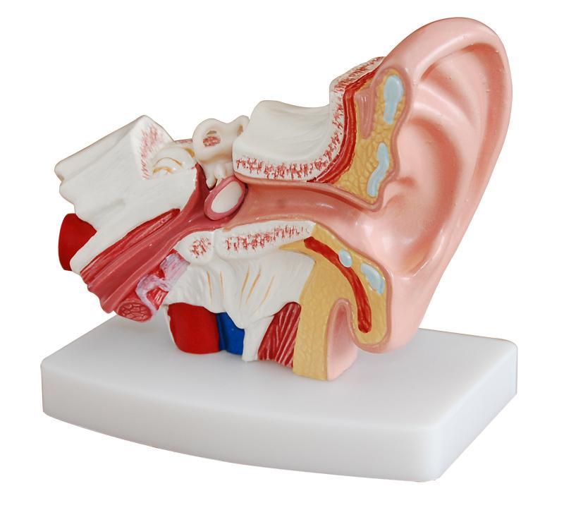 耳解剖模型