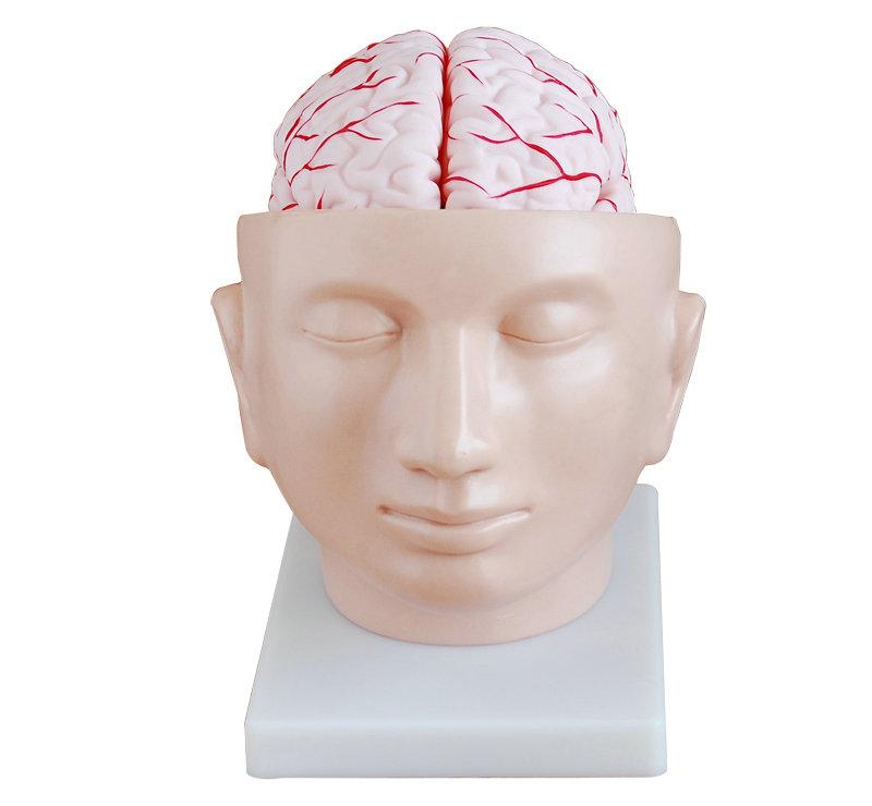 头部附脑动脉模型