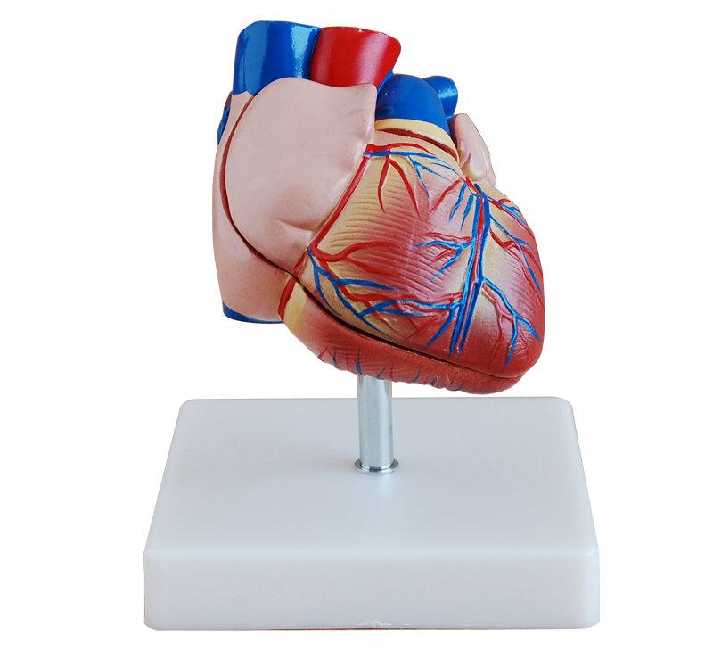 新型自然大心脏解剖模型
