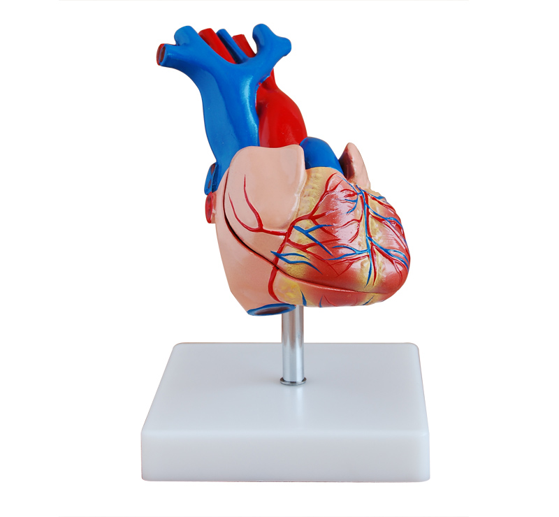 心脏解剖模型